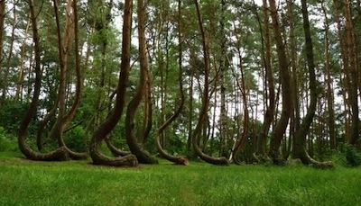 Foresta di Gryfino
