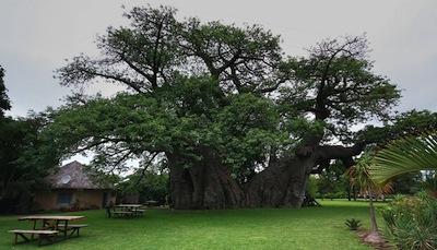 sunland-baobab